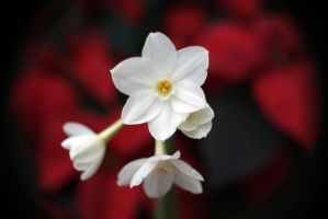 Paper White Narcissus by Jetaimepourtoujours