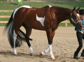 Paint Horse 88 by FantasyDesignStock