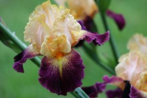 Iris Afternoon 2 by Dellessanna