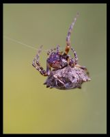 Spinny Orb Weaver by jesse-botanical