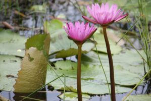 Pink water lily 2491 by fa-stock