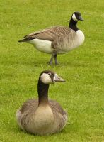 two geese one lying, one standing by Nexu4