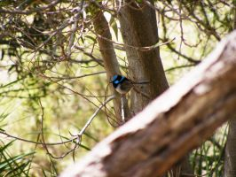 Natives: Superb Fairy-wren by phlufii