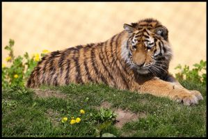 Tiger Cub by Arwen91