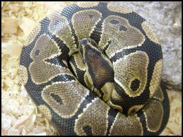 Ball Python by sugabear