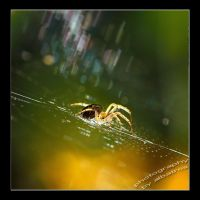 Attention Spider by albatros1