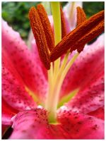 Stargazer lily II by earthly-muse