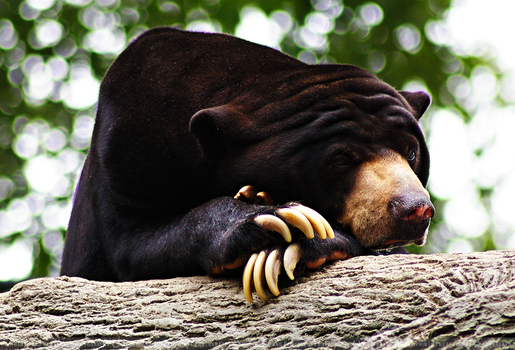 Sun Bear by HoofbeatsnPawprints