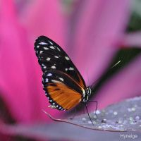 Papillon en Orange sur le Rose by hyneige