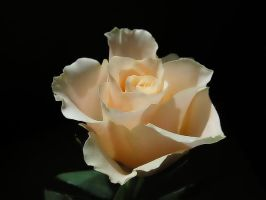 Rose serie 3 by stock1-2-3