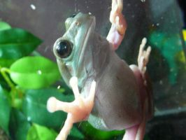 Gizmo the Tree Frog 14 by devonette