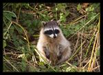 Rocky Raccoon by ernieleo
