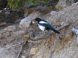 Magpie Perched by Sanluris