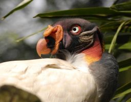 King Vulture. by quaddie