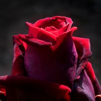 Beautiful Rose by 666squirrelOFdeath