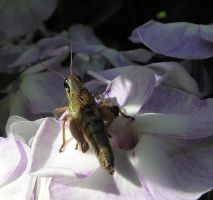 Grasshopper on Phlox by JocelyneR