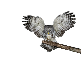 Png Owl by Moonglowlilly
