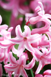 Flowers | Hyacinth | I by Wings-Photo