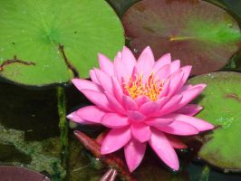 Water Lily by hilldren