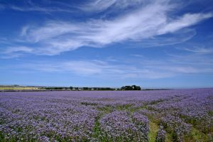 Linseed Field by GailJohnson