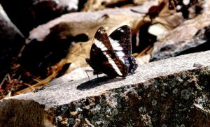 Lepidoptera II by angelicque