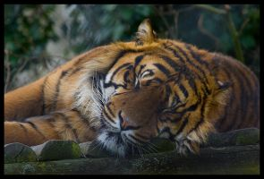 Sumatran Tiger by Wolfy2k4