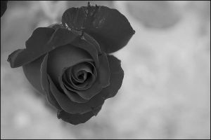 black rose. by cute-sho