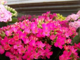 Tiny Pink Flower by theNanna
