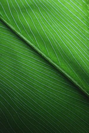 Leaf Of An Elephant Plant by ~Aquarianeye