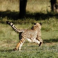 Cheetah Run by Lelanie