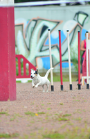 Jack Russell Terrier by Tapire