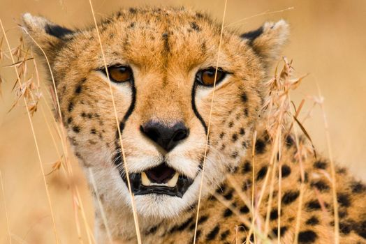 Maasai Cheetah by JustinBowen