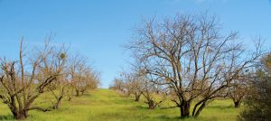 Season 1: Elderly Pear Orchard by JWilsonArts