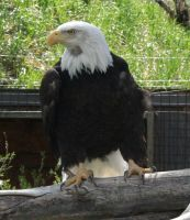 Zoo Montana Bald Eagle 26 by Falln-Stock