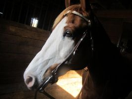 Paint Horse Stock 3 by Eventing-Stock