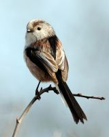 Long tailed tit 1aa by pixellence2