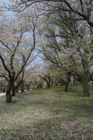 Cherry Blossoms by Amor-Fati-Stock