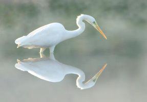 Great white Egret in the mist by Jamie-MacArthur
