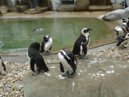 African Penguins by Archanubis