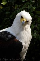 African Fish-Eagle by KeezRha