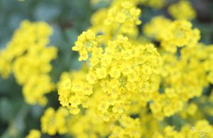 Wallpaper yellow by lilly-gerbil