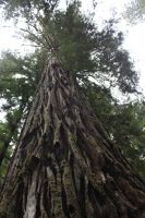 Other Side Of The Burned Out Redwood Tree by Kage-Kaldaka