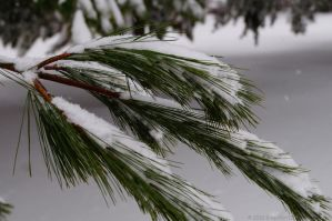 Snowy Pine Branch Stock by SnapShot120