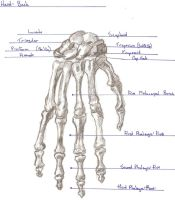 Skeletal Hand: Posterior by DCCourtJester