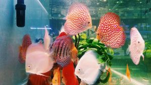 Discus by haruy