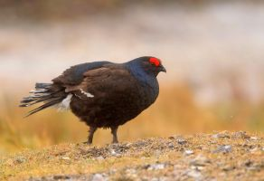 taking a stroll - Black Grouse by Jamie-MacArthur