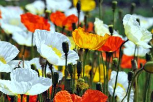 Mixed poppies by dbroglin