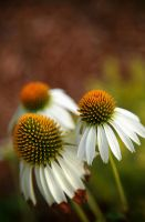 Echinacea in Color by rivaraftin1977