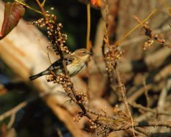 Fall Goldfinch by natureguy