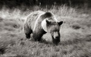 a bear in a hurry by Yair-Leibovich